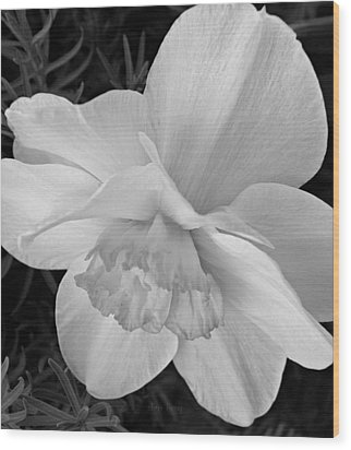 Daffodil Study Wood Print by Chris Berry