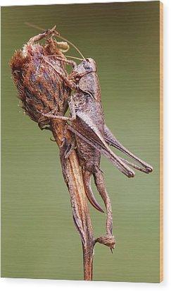 Dark Bush Cricket Wood Print by Heath Mcdonald