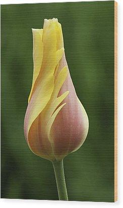 Delicate Folds Of A Tulip Wood Print by Ram Vasudev