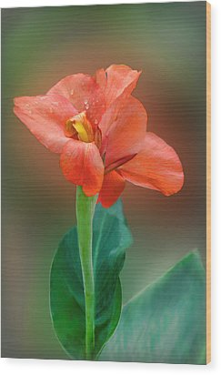 Delicate Red-orange Canna Blossom Wood Print by Linda Phelps