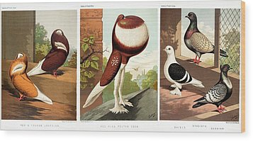 Domestic Fancy Pigeon Breeds Wood Print by Paul D Stewart