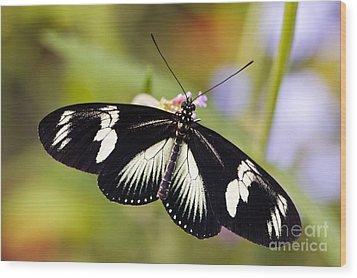 Doris Longwing Butterfly Wood Print by Oscar Gutierrez