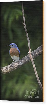 Eastern Blue Delight Wood Print by Cris Hayes