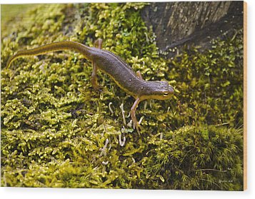 Eastern Newt Aquatic Adult Wood Print by Christina Rollo