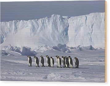 Emperor Penguins Walking Antarctica Wood Print by Frederique Olivier