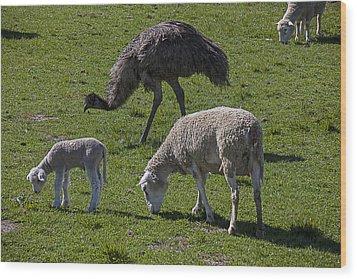 Emu And Sheep Wood Print by Garry Gay
