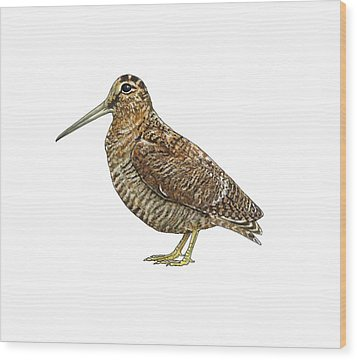 Eurasian Woodcock, Artwork Wood Print by Science Photo Library