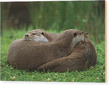European River Otter Lutra Lutra Wood Print by Ingo Arndt