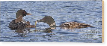 Feeding Time For Loon Chicks Wood Print by Jim Block