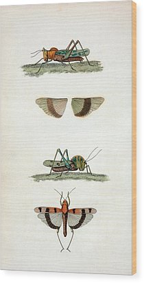 Field Crickets Wood Print by General Research Division/new York Public Library
