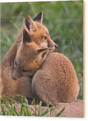 Fox Cubs Cuddle Wood Print by William Jobes