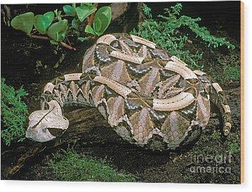 Gaboon Viper Wood Print by ER Degginger