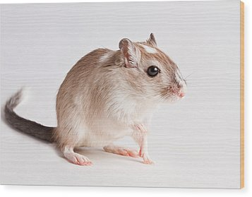 Wood Print featuring the photograph Gerbil Gerbillinae by David Kenny