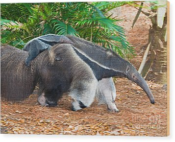 Giant Anteater Mother And Baby Wood Print by Millard H. Sharp