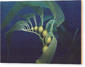Giant Kelp Macrocystis Pyrifera Detail Wood Print by Flip Nicklin