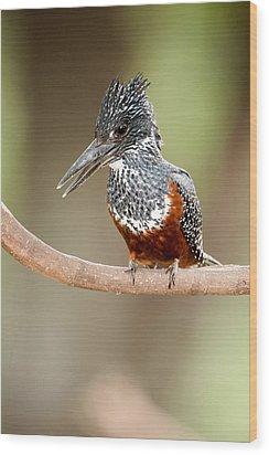 Giant Kingfisher Megaceryle Maxima Wood Print by Panoramic Images