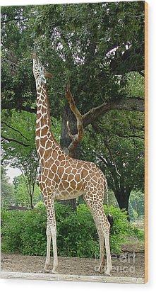 Giraffe Eats-09053 Wood Print by Gary Gingrich Galleries