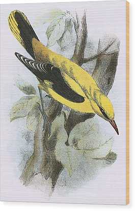 Golden Oriole Wood Print by English School