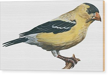Goldfinch  Wood Print by Anonymous