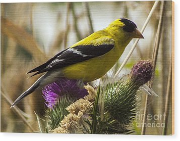 Goldfinch Atop A Purple Thistle Wood Print by Darleen Stry