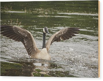 Goose Action Wood Print by Karol Livote