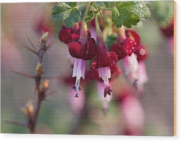 Gooseberry Flowers Wood Print by Peggy Collins