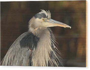 Great Blue Heron Portrait Wood Print by Daniel Behm