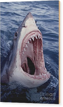 Great White Shark Lunging Out Of The Ocean With Mouth Open Showing Teeth Wood Print by Brandon Cole