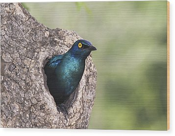 Greater Blue-eared Glossy-starling Wood Print by Andrew Schoeman