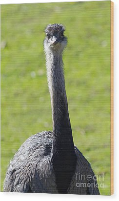 Greater Rhea 7d9043 Wood Print by Wingsdomain Art and Photography