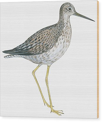 Greater Yellowlegs  Wood Print by Anonymous