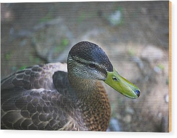 Green-billed Duck Wood Print by John Hoey
