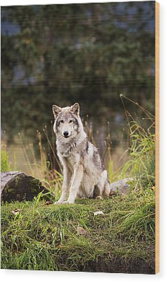 Grey Wolf  Canis Lupus  Pup Roams It S Wood Print by Doug Lindstrand