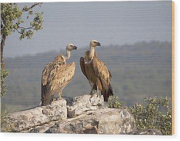 Griffon Vulture Pair Extremadura Spain Wood Print by Gerard de Hoog