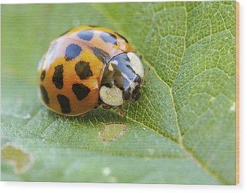 Harlequin Ladybird Wood Print by Heath Mcdonald