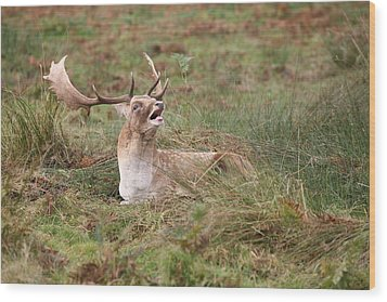 Hear Me Roar Wood Print by Mark Severn