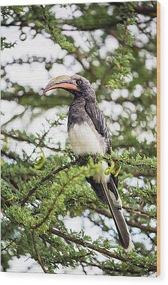 Hemprichs's Hornbill (tockus Hemprichii) Wood Print by Peter J. Raymond