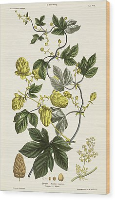 Hop Vine From The Young Landsman Wood Print by Matthias Trentsensky