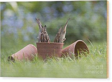 House Sparrows Feeding Wood Print by Tim Gainey