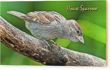 Wood Print featuring the photograph House Sparrow Juvenile Poster Image by A Gurmankin