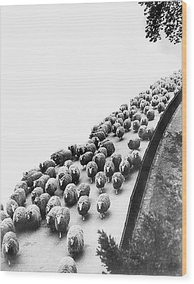 Hyde Park Sheep Flock Wood Print by Underwood Archives