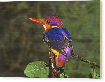 India Three Toed Kingfisher Wood Print by Anonymous