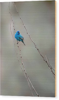 Indigo Bunting Wood Print by Bill Wakeley
