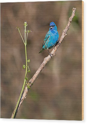 Indigo Bunting Portrait Wood Print by Bill Wakeley