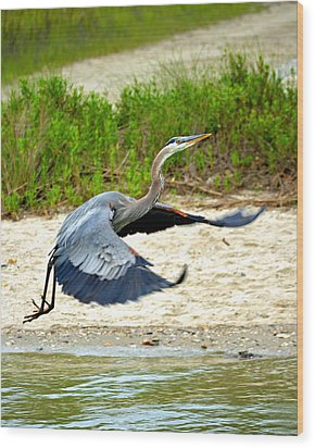 Inflight Great Blue Heron Wood Print by Sandi OReilly