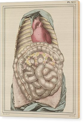 Internal Body Organs, 1825 Artwork Wood Print by Science Photo Library