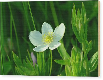 Just One Pretty Flower Wood Print by Jeff Swan