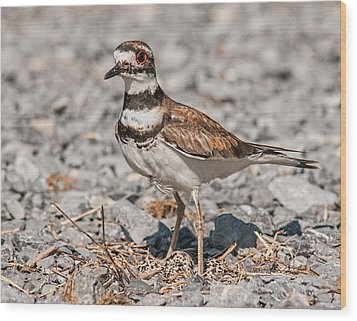 Killdeer Nesting Wood Print by Lara Ellis