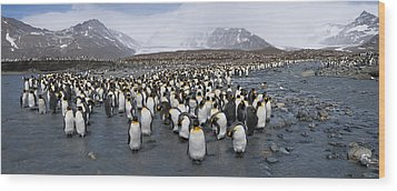 King Penguins Aptenodytes Patagonicus Wood Print by Panoramic Images