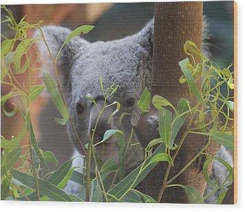 Koala Bear  Wood Print by Dan Sproul